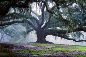 Suicide Oak near San Antonio