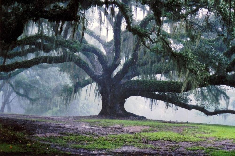 Suicide Oak - Photo